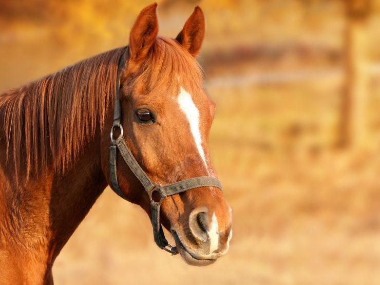 Bacağı Kırılan Atlar Niçin Vurulur?