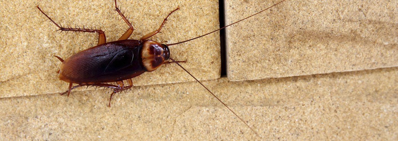 Hamam Böcekleri Radyasyona Dayanabilir mi?