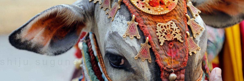 Hindistan'da İnekler Neden Kutsal Sayılır?