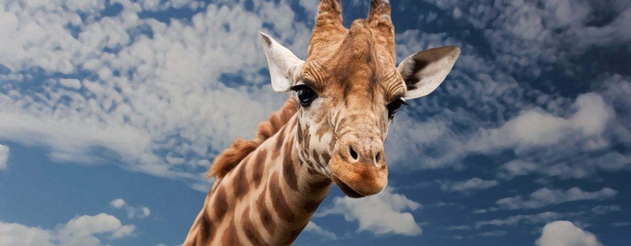 Bazı Hayvanlar Neden Evcilleştirilmiyor?