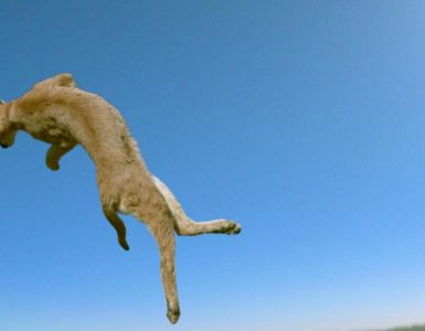 Kediler Neden Hep Dört Ayak Üstüne Düşerler?