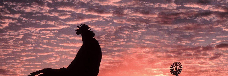 Horozlar Niçin Sabah Erkenden Öterler?