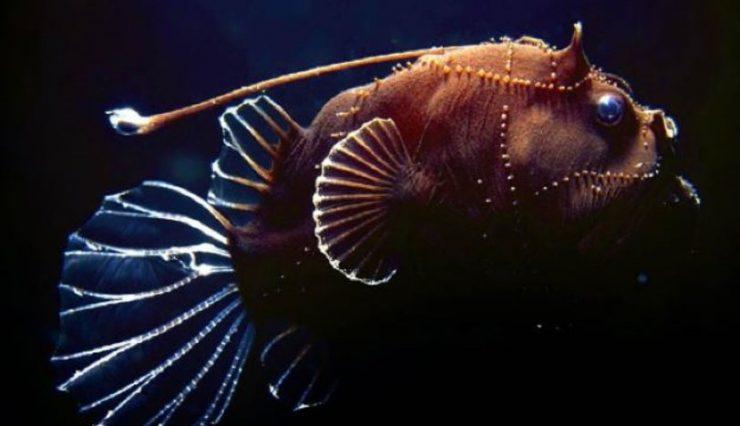 Fener Balığı Hakkında Bilgi